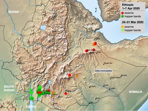 埃塞俄比亚的蝗虫形势 图片来源:FAO 1111.jpg