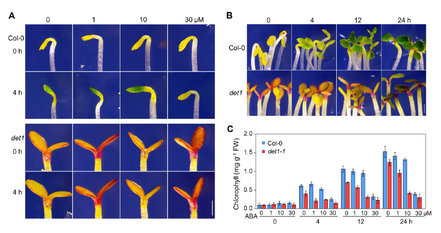 脱落酸通过DET1抑制光诱导黄化幼苗的绿变。.jpg