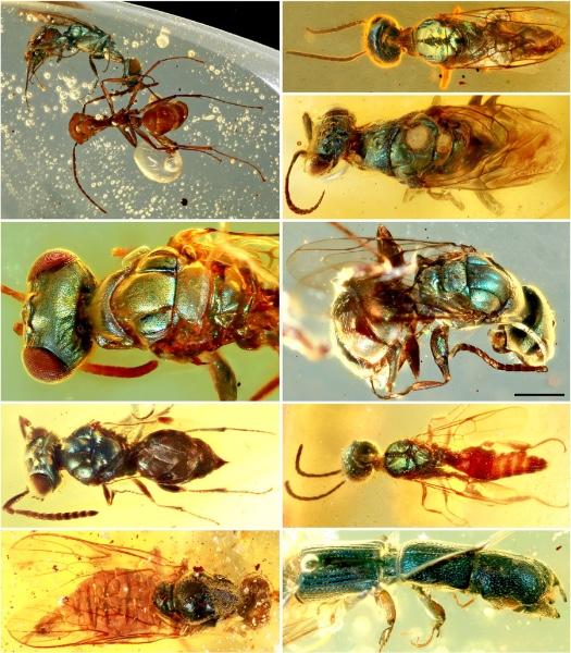 白垩纪缅甸琥珀中多样的具金属色彩结构色的昆虫.jpg