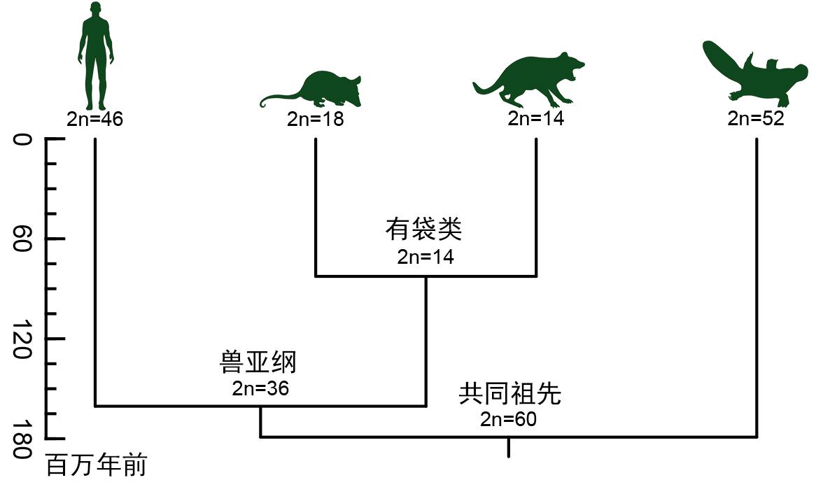 哺乳动物染色体演化历程简图(周旸等绘).jpg
