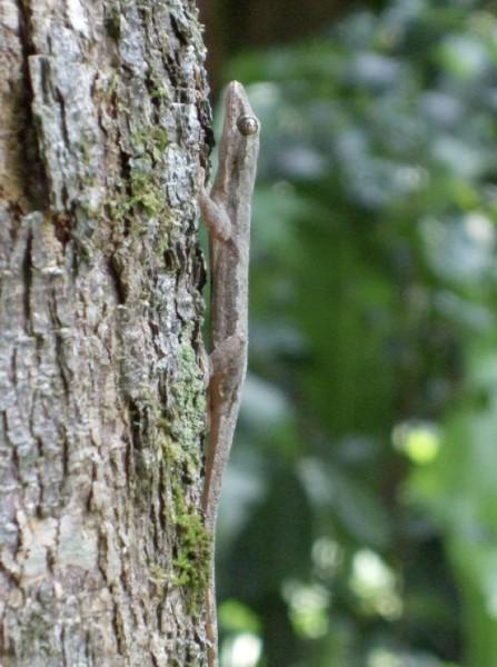 一只蜥虎停在树干上 图片来自Ardian Jusufi.jpg