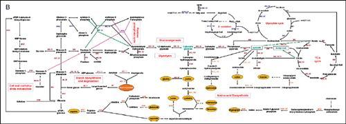 阐明了糖酵解过程供给生物能对于种子萌发的重要作用