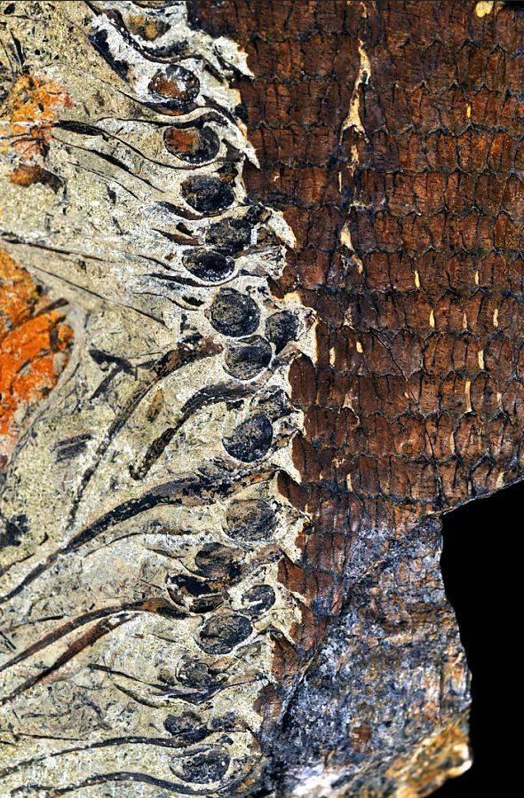 【转载】南京古生物所泥盆纪石松类植物演化研究获新发现