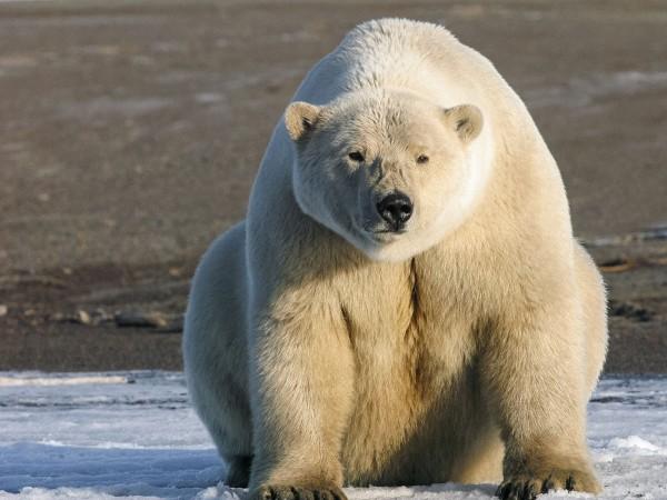 """一项针对北极哺乳动物的最新分析显示,一些北极熊种群的数量正在减少。图片来源:Eric Regehr/USFWS 有史以来第一次测定生活在北极的全部11种海洋哺乳动物的工作描绘出一幅好坏参半的图景,并且展示了一些缺失的信息。研究人员发现,尽管一些种群似乎正在适应气候变化,但其他种群正处于衰退状态。不过,总体上,科学家发现在78个已知种群中,关于大多数种群的信息都很少。 """"这就是在日益增加的开发压力下,我们为可预见的未来作管理决策时所不得不依据的信息,直到关键的数据空白得以填补。""""美"""