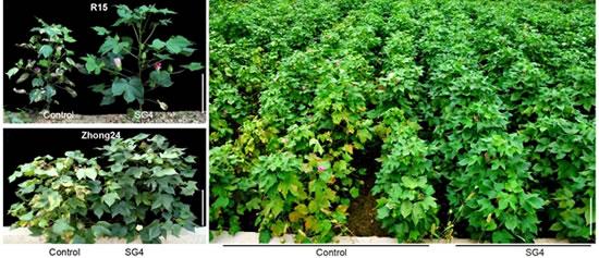 图:转GAFP4棉花对黄萎病的抗性显著增强。R15和Zhong24分别是两个不同棉花品种。Control,对照;SG4,GAFP4转基因棉花。 大丽轮枝菌(Verticillium dahliae Kleb.)是一种具有毁灭性的植物病原真菌,寄主非常广泛,能够侵染多达400多种植物,其中包括很多具有重要经济价值的农作物,全世界范围内由大丽轮枝菌引起的黄萎病损失每年超过数十亿美元。大丽轮枝菌引起的棉花黄萎病是世界棉花种植区危害最为严重的真菌病害,不仅显著降低棉花产量而且大大降低纤维质量,一般发生会减产10