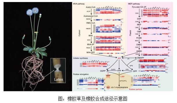 橡胶草基因组序列解析工作取得重要进展